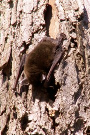 nature-series-bat