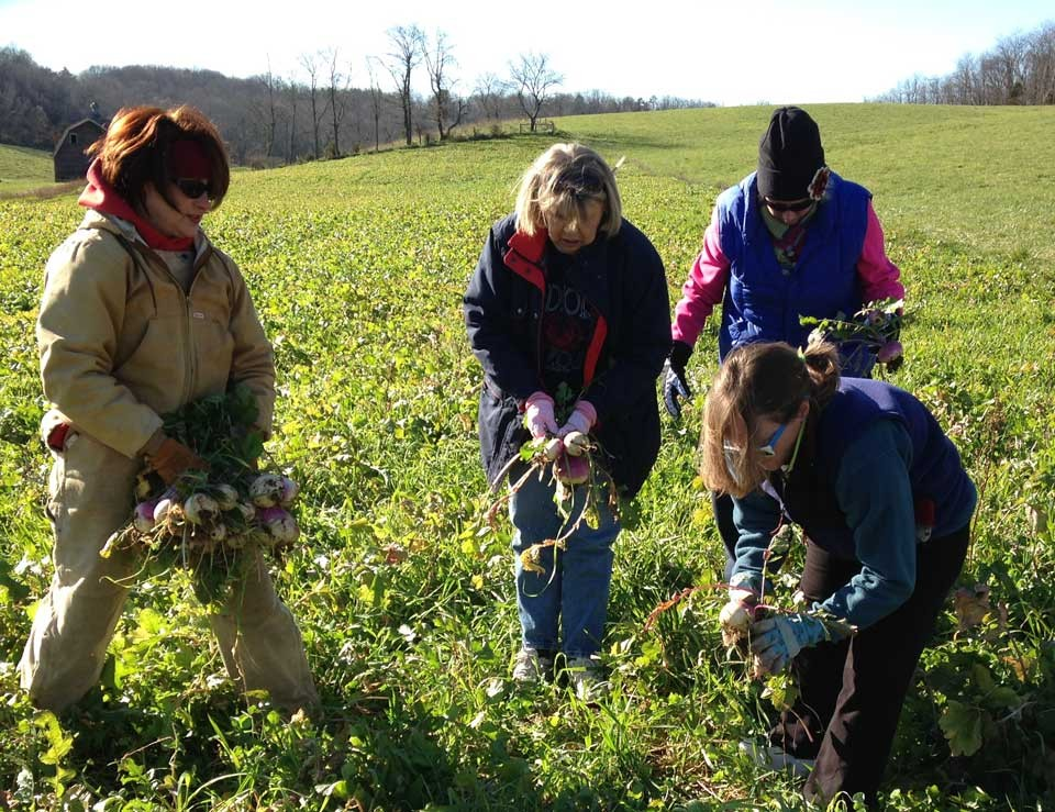 WCHHS staffers working the fields to glean turnips