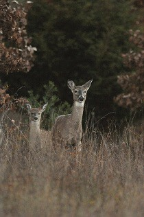 Selu deer bigger
